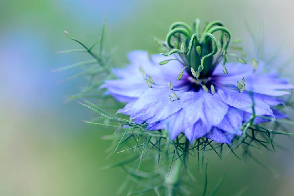 Fleur de nigelle bleue qui produit l'huile de nigelle