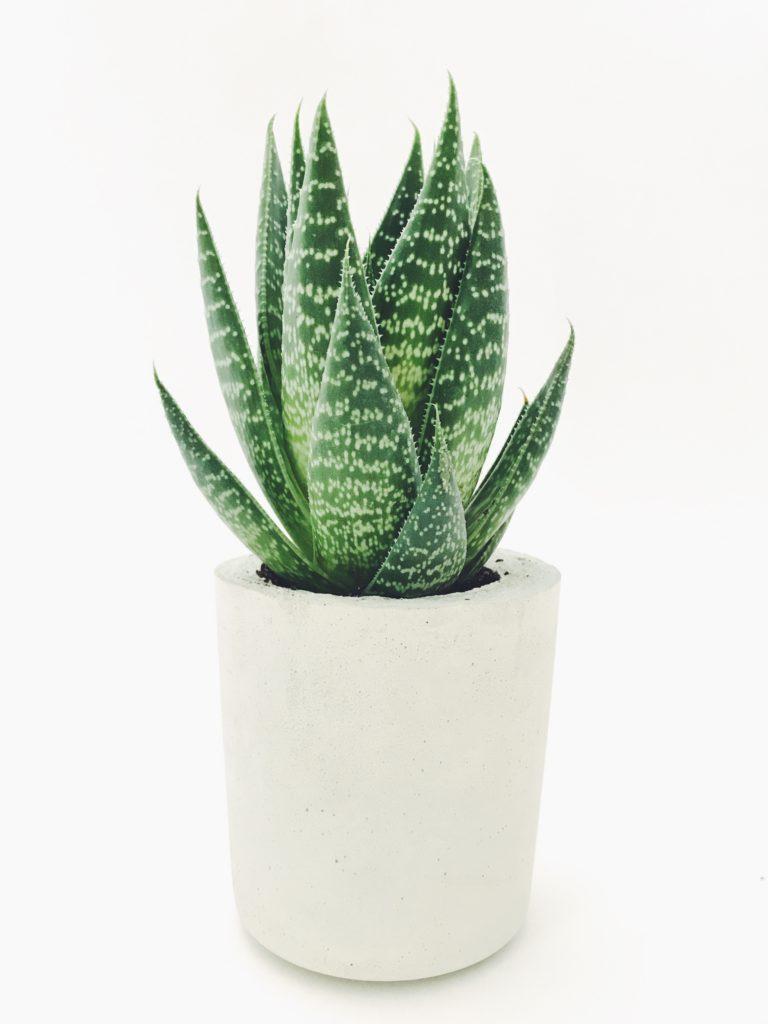 Comment Entretenir Une Plante Aloe Vera aloe vera : propriétés, bienfaits et secrets d'un must have