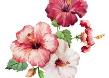 bienfaits du gombo fleur hibiscus - pranaloé